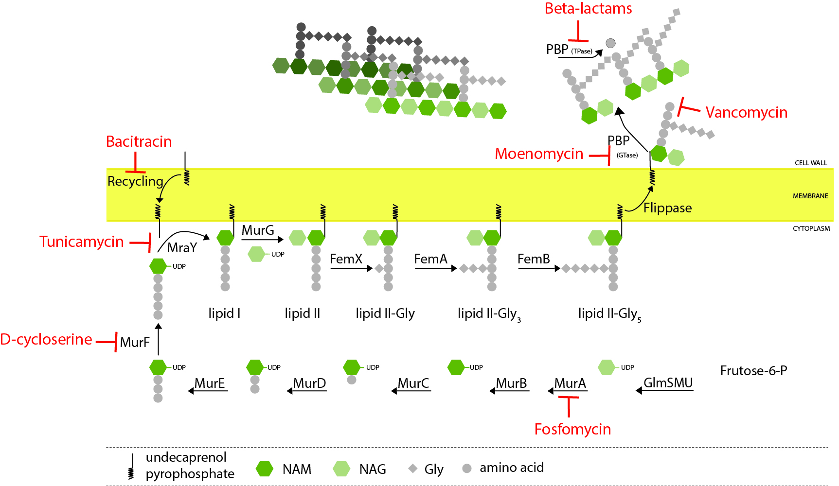 Bacterial Cell Biology — ITQB