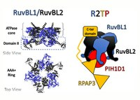 Drug-target proteins mediate ribosome biogenesis, cell growth and proliferation