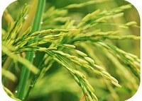 Environment can be more harmful to rice than genetic engineering