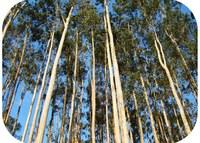 Eucalyptus genome sequenced