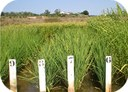 History of rice featured in Nature Plants