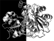 Killer or defender of S. aureus: antagonistic behaviour of a single enzyme