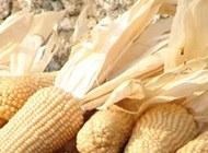 Maize seeds make researchers start from scratch