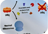On building ribosomes