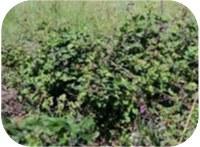 Portuguese wild blackberries trump commercial varieties