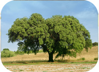 Prize for cork oak sequencing
