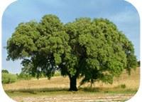 The future of cork oak: the book