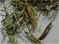 Grain legume-associated fungi family relationships