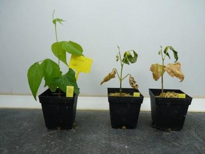 2. Plantas do feijão afetadas pela fusariose